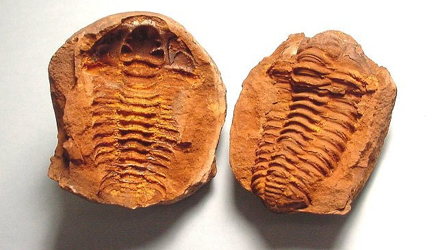 A mold (left) and cast (right) of a trilobite fossil