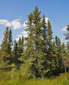 Several black spruce trees in an Arctic forest.