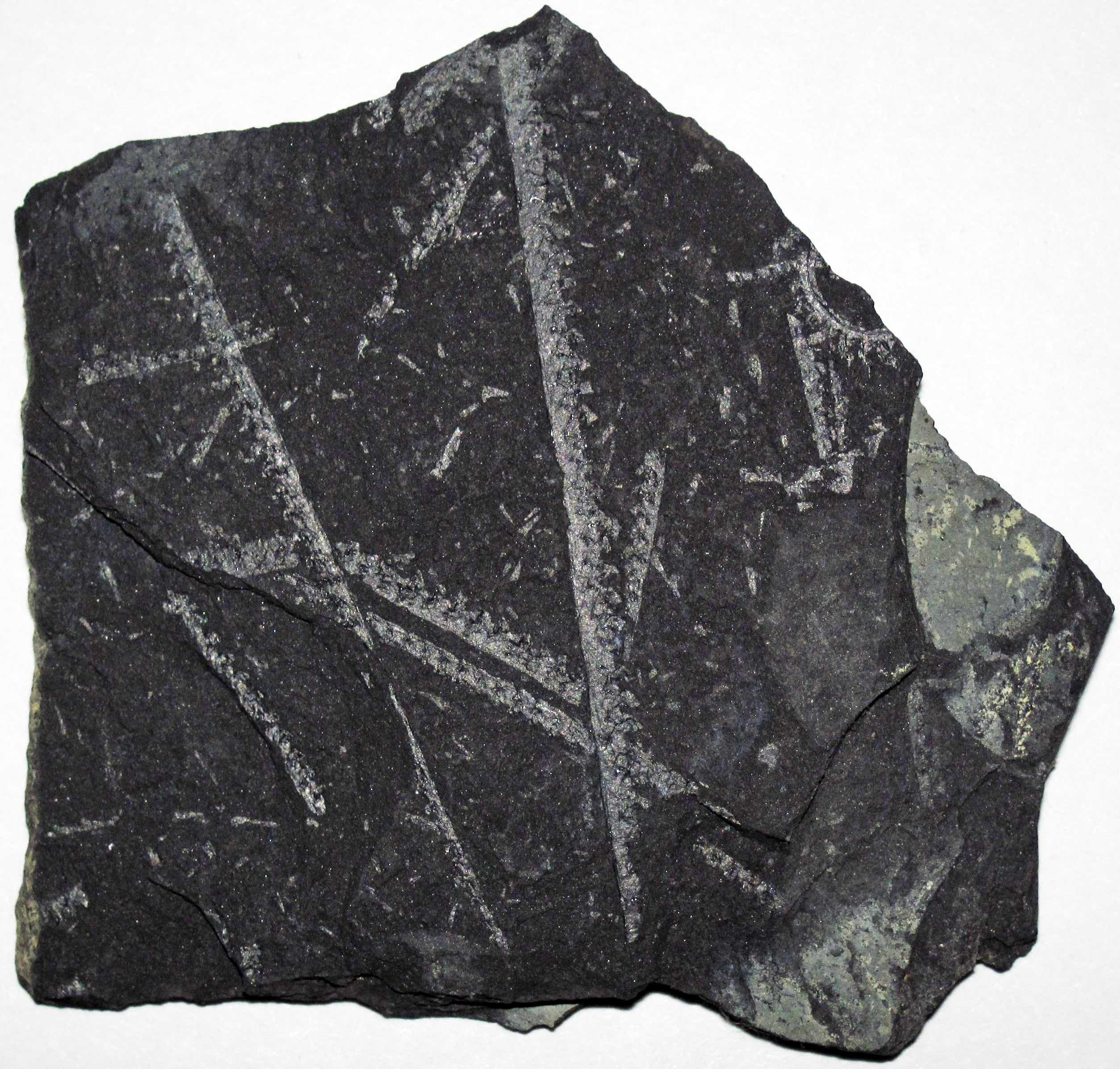 Carbonization of Silurian-aged graptolites from Poland