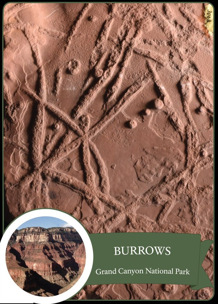 This image shows Scoyenia burrows and the markings cross one another.