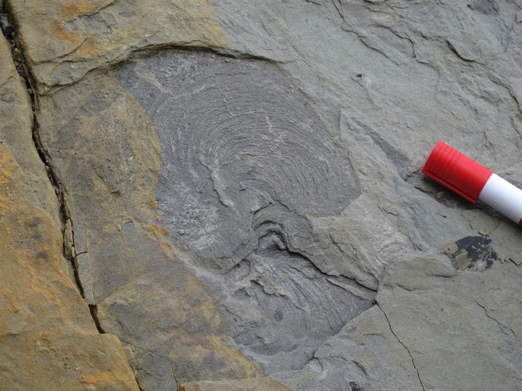 The spiraling marks on this rock are Zoophycos trace fossils.