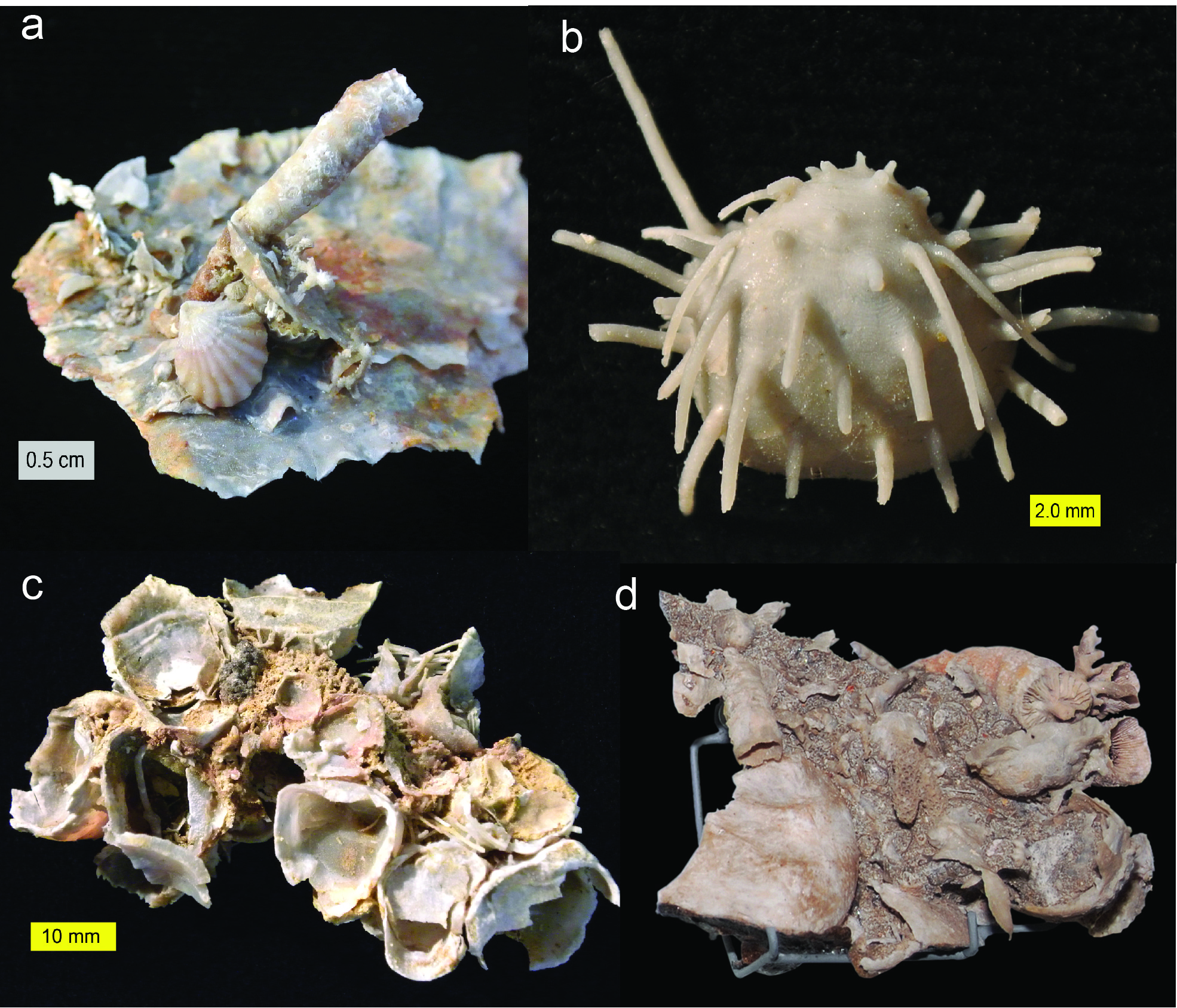 Fossils from the Capitan Formation of the Glass Mountains