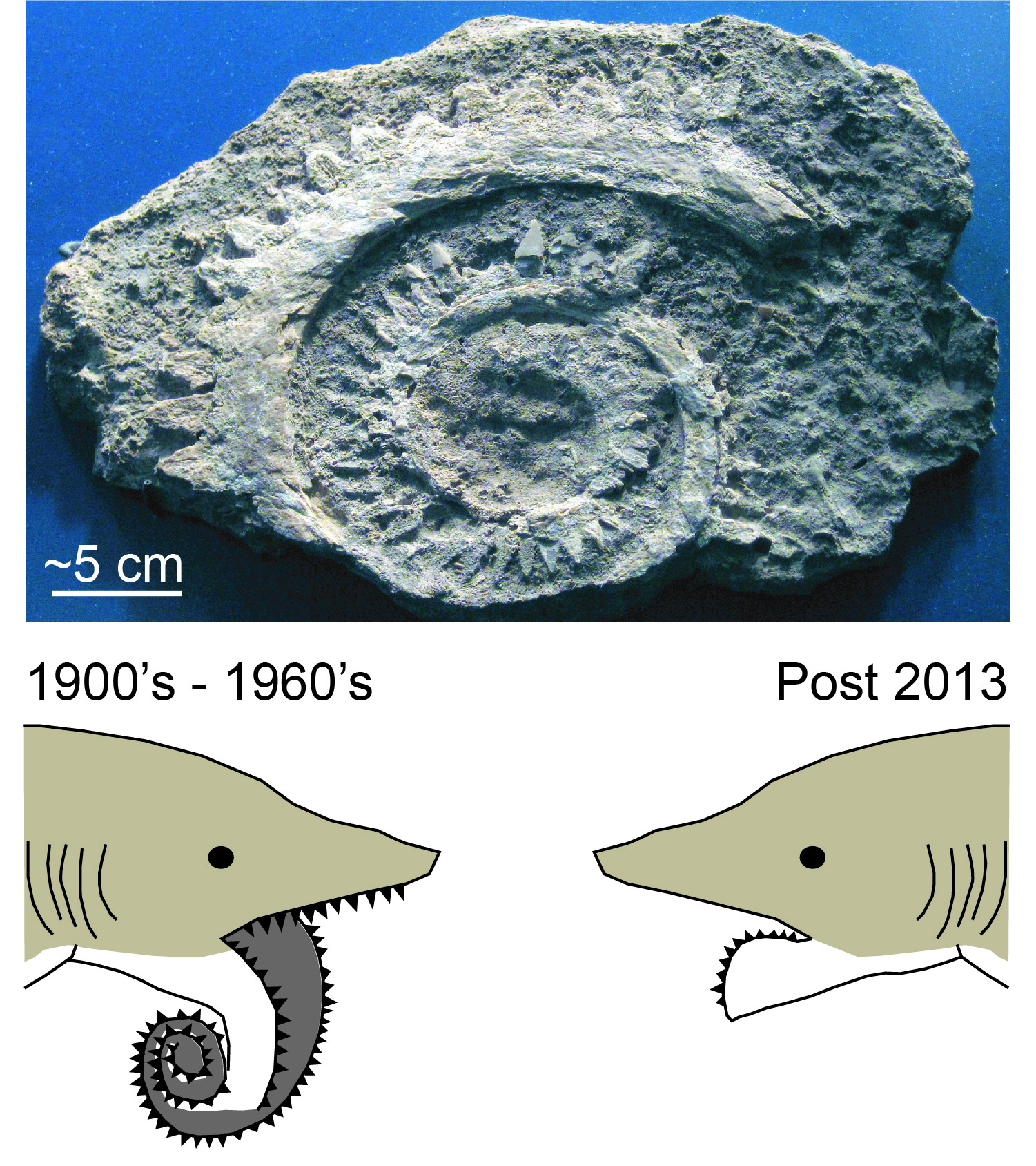 Helicoprion jaw with two possible reconstructions
