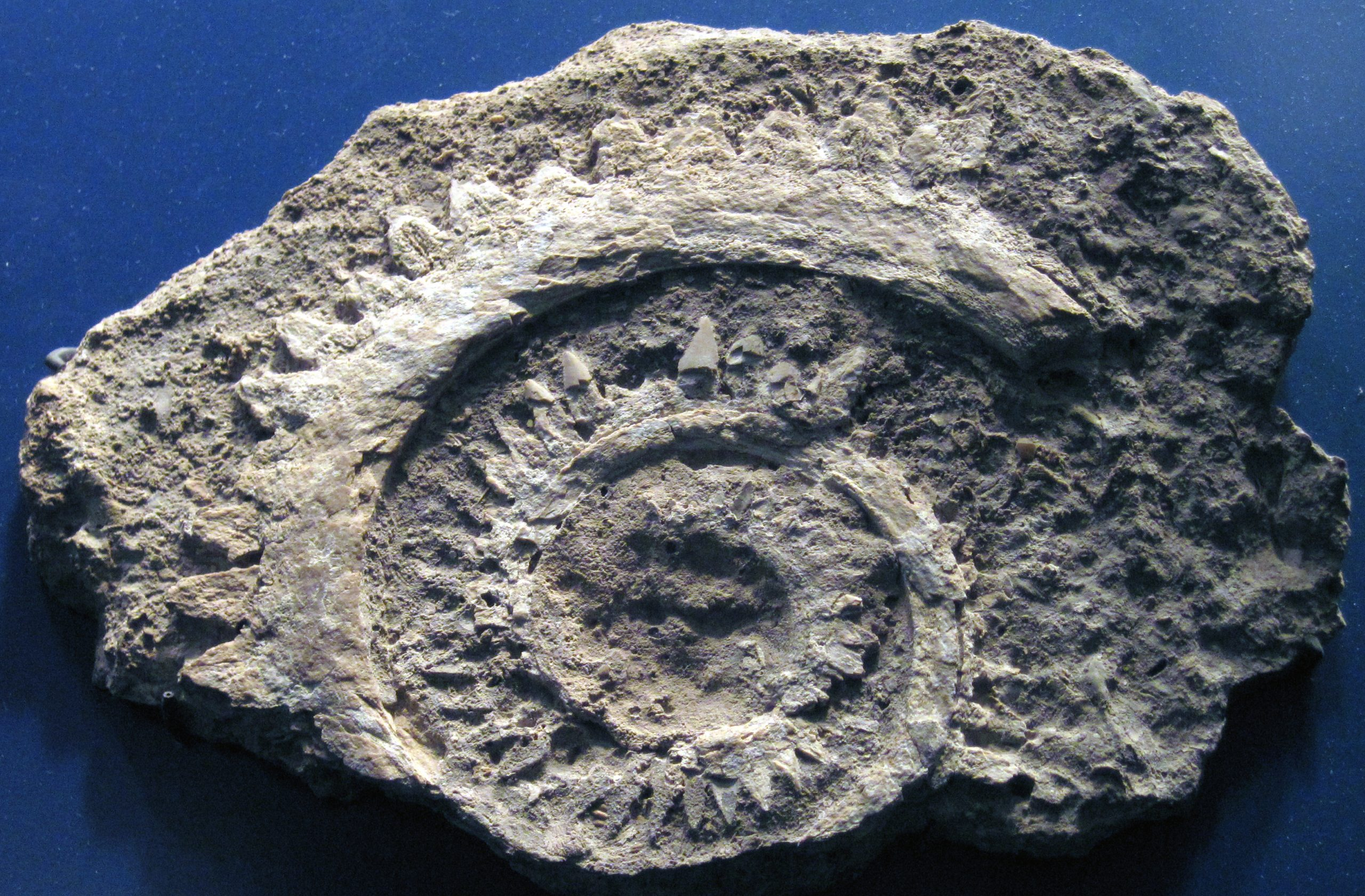 Fossil jaw of a Helicoprion ferrieri