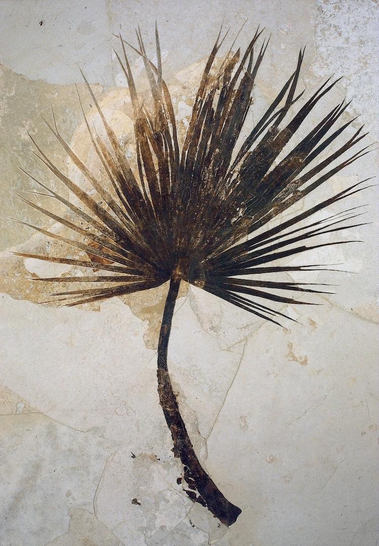 A brown fossilized palm leaf in limestone.