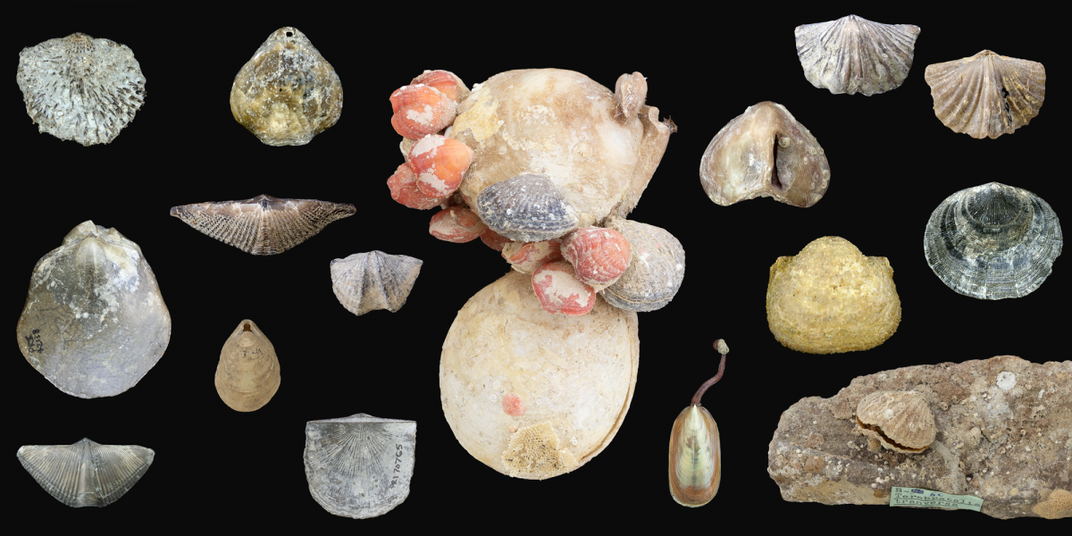 collection of various brachiopods