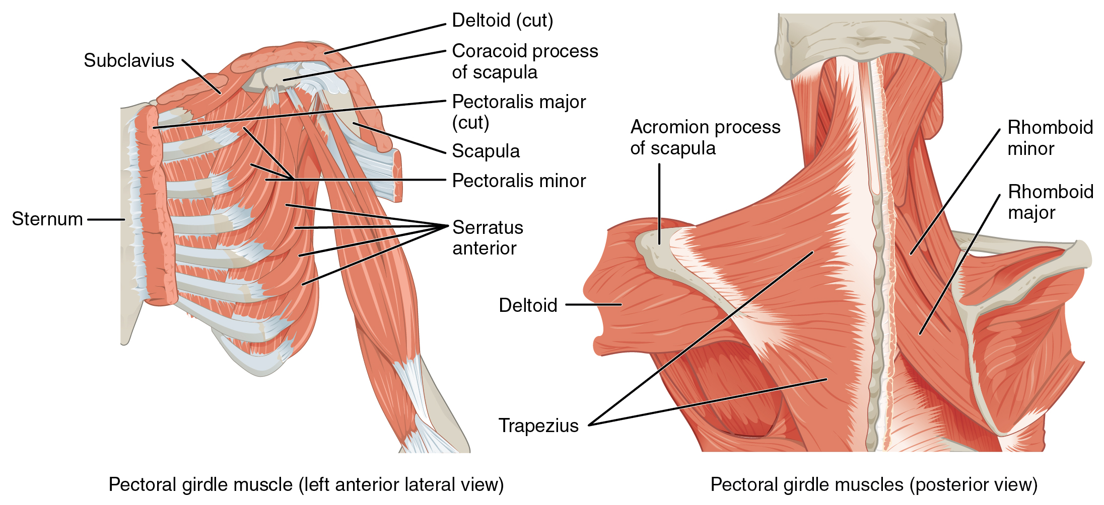 The left panel shows the anterior lateral view of the pectoral girdle muscle, and the right panel shows the posterior view of the pectoral girdle muscle.