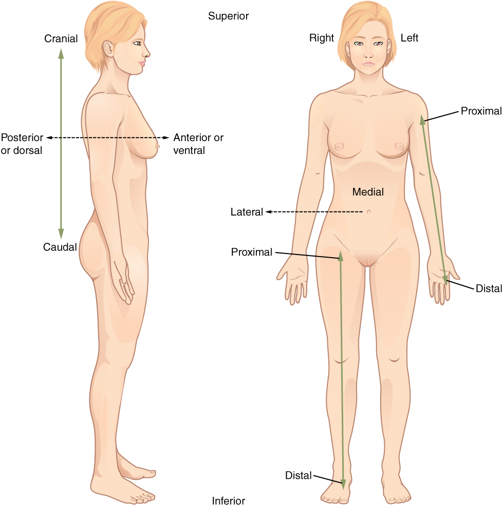 This illustration shows two diagrams: one of a side view of a female and the other of an anterior view of a female. Each diagram shows directional terms using double-sided arrows. The cranial-distal arrow runs vertically behind the torso and lower abdomen. The cranial arrow is pointing toward the head while the caudal arrow is pointing toward the tail bone. The posterior/anterior arrow is running horizontally through the back and chest. The posterior or dorsal arrow is pointing toward the back while the anterior, or ventral arrow, is pointing toward the abdomen. On the anterior view, the proximal/distal arrow is on the right arm. The proximal arrow is pointing up toward the shoulder while the distal arrow is pointing down toward the hand. The lateral-medial arrow is a horizontal arrow on the abdomen. The medial arrow is pointing toward the navel while the lateral arrow is pointing away from the body to the right. Right refers to the right side of the woman's body from her perspective while left refers to the left side of the woman's body from her perspective.