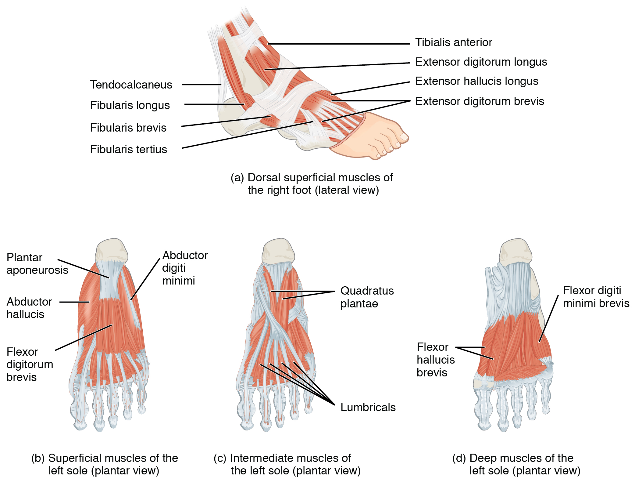 This figure shows the muscles of the foot. The top panel shows the lateral view of the dorsal muscles. The bottom left panel shows the superficial muscles of the left sole, the center panel shows the intermediate muscles of the left sole, and the right panel shows the deep muscles of the left sole.
