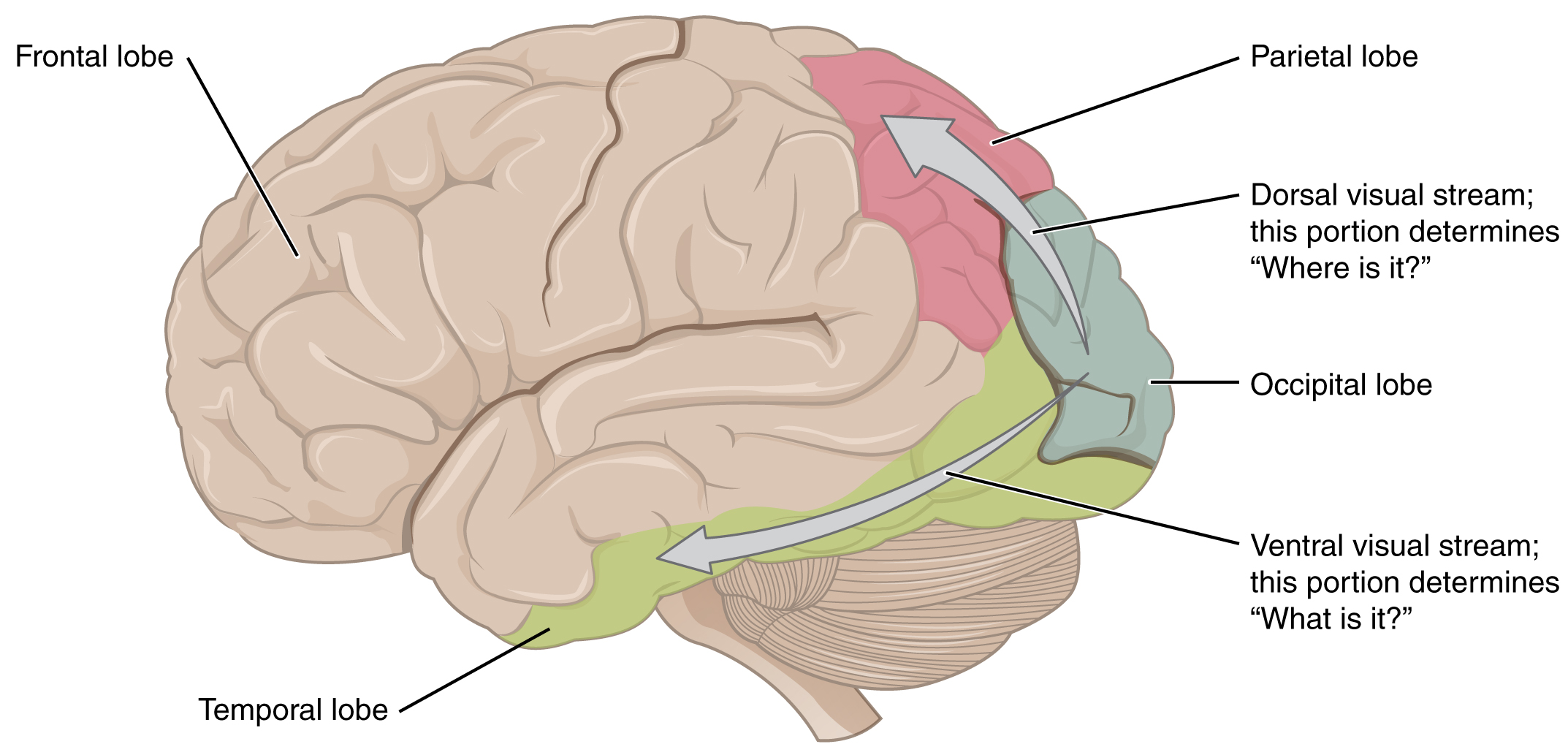 This image shows the side of the human brain and maps different regions to different visual functions.