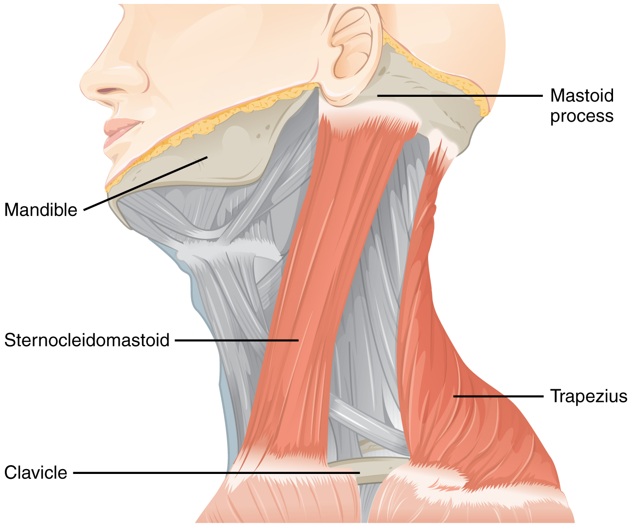 This figure shows the side view of a person's neck with the different muscles labeled.
