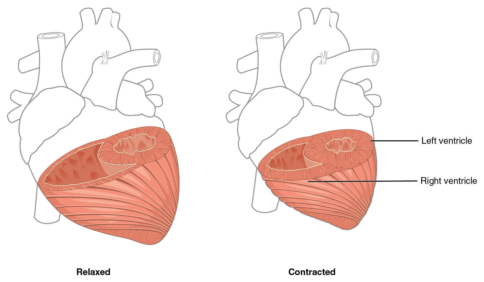 In this figure the left panel shows the muscles of the heart in the relaxed position, and the right panel shows the muscles of the heart in contracted position.