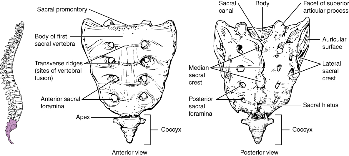 This figure shows the structure of the sacrum and coccyx. The left panel shows the vertebral column with the sacrum and coccyx highlighted in pink. The middle panel shows the anterior view and the right panel shows the posterior view of the sacrum and coccyx.