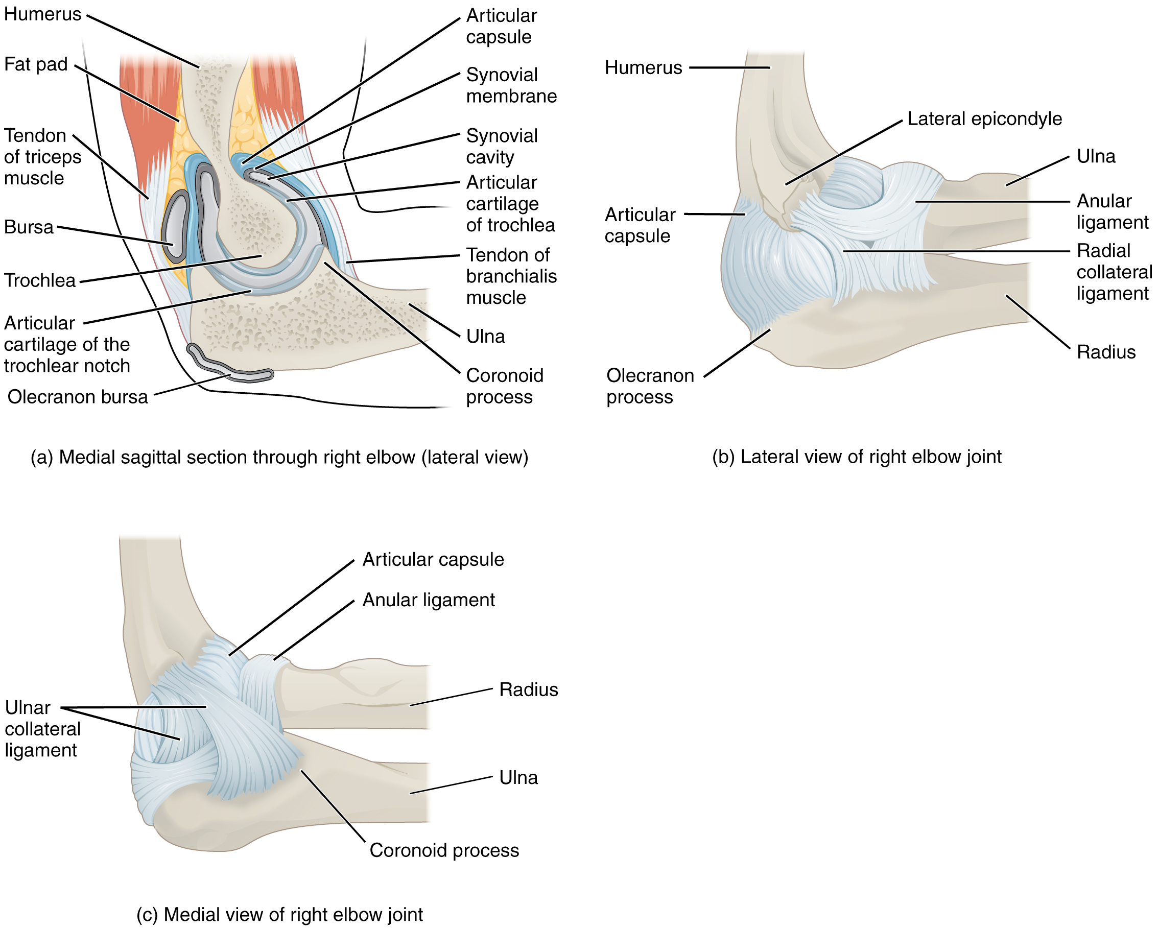 This figure shows the structure of the elbow joint. The top, left panel shows the medial sagittal section of the right elbow joint. The top, right panel shows the lateral view of the right elbow joint, and the bottom, left panel shows the medial view of the right elbow joint.